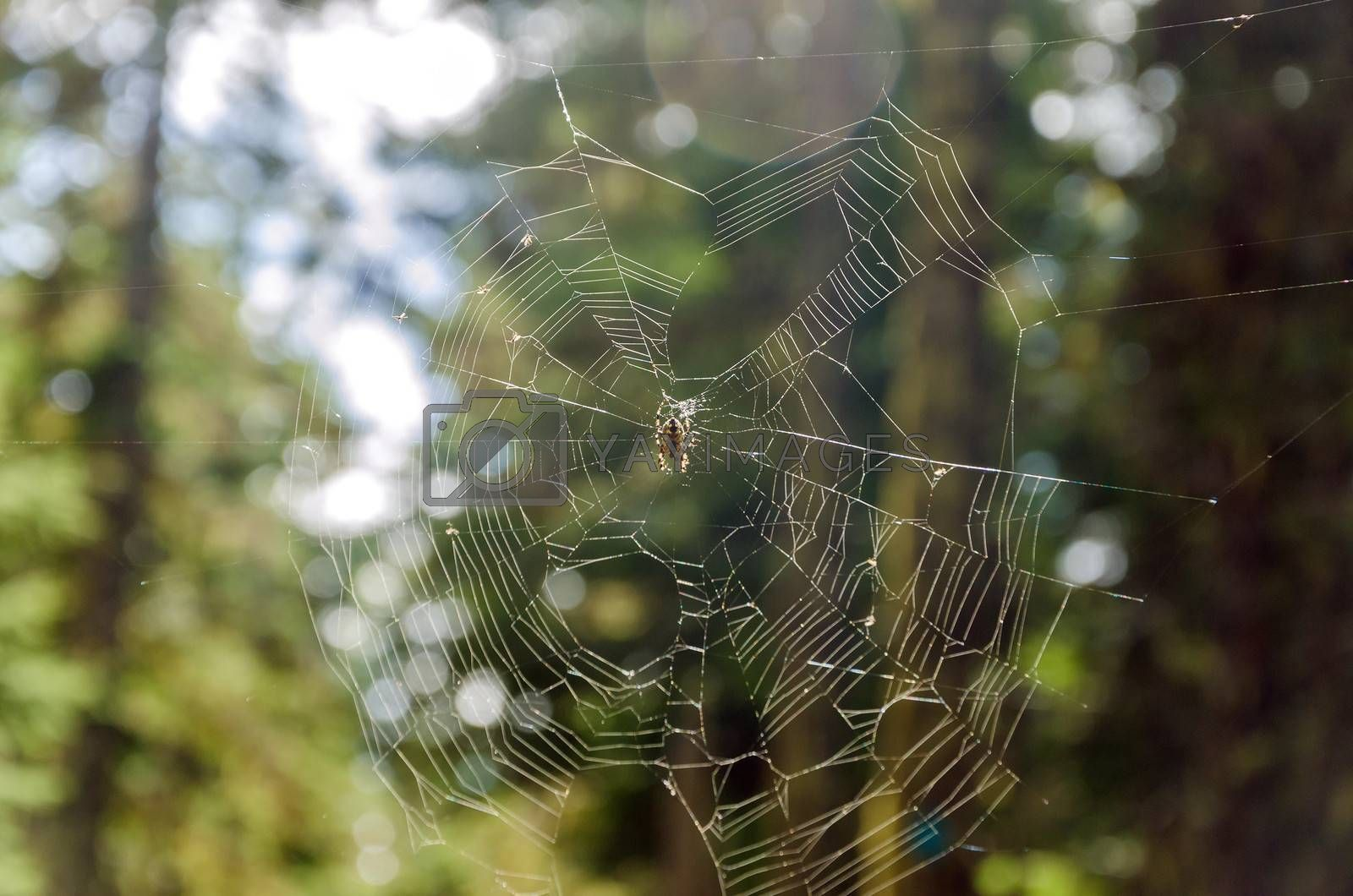 Spider on a spiderweb in a forest