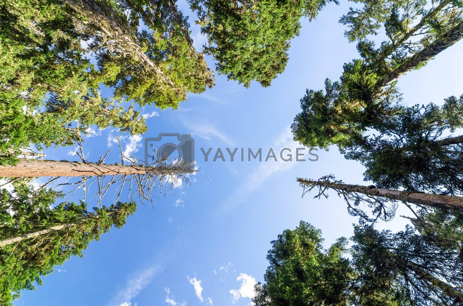 Looking up at towering pine trees
