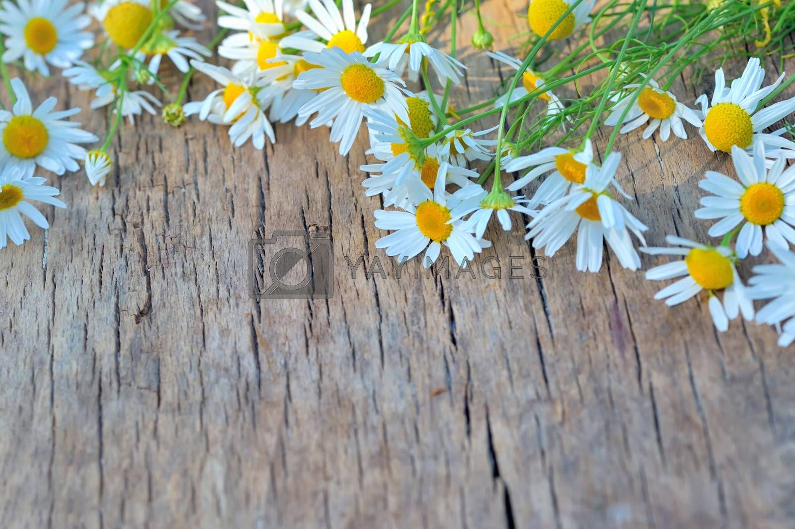 Fresh chamomile flowers by mady70