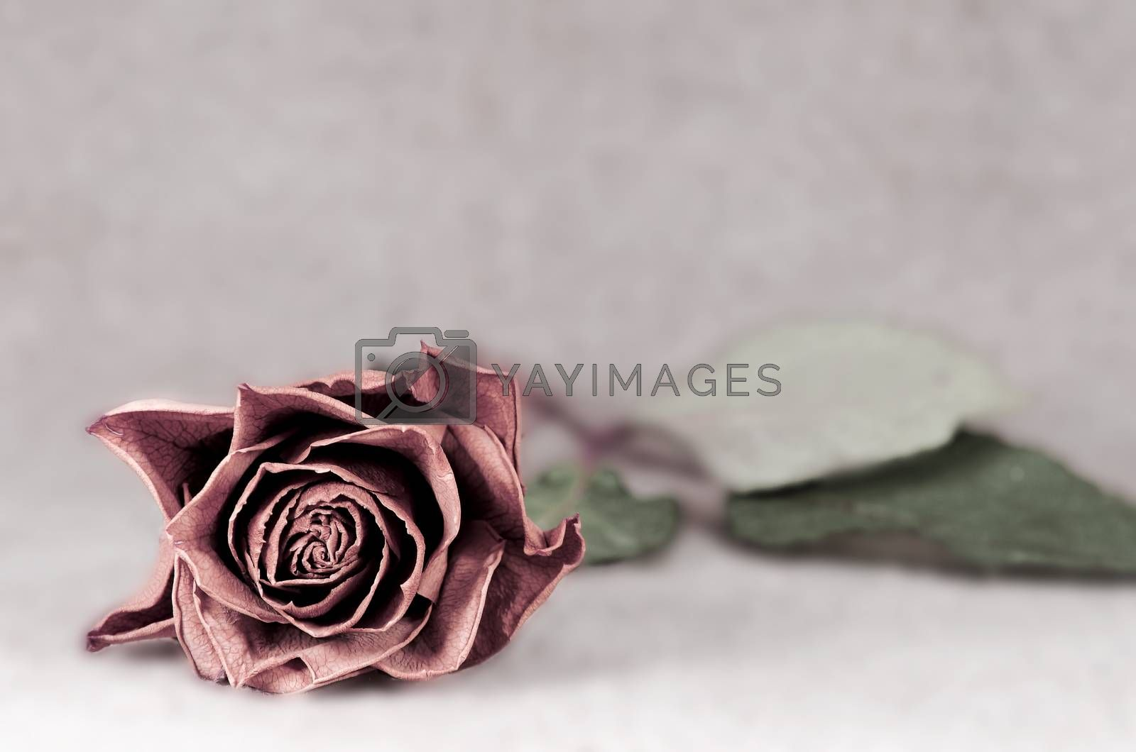faded rose on blurred background