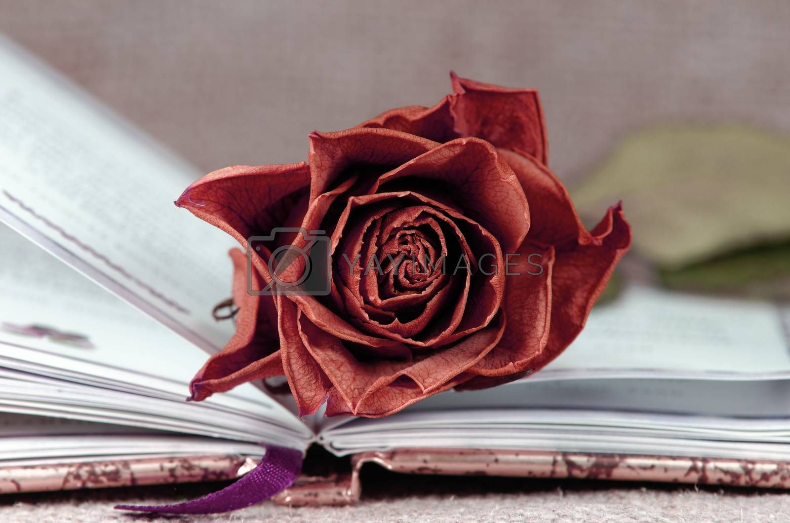 red faded rose on open book