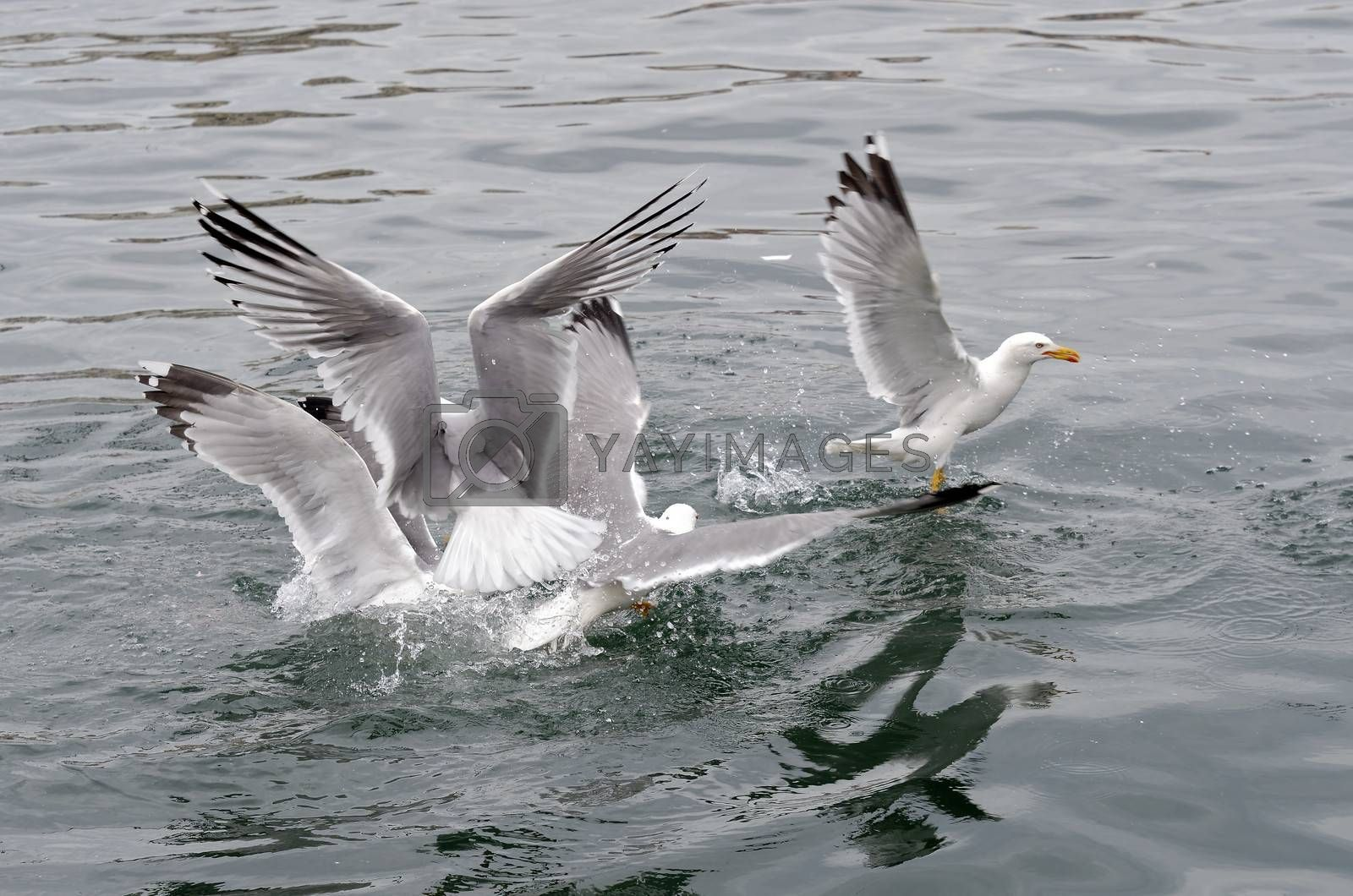 seagull fighting for fish