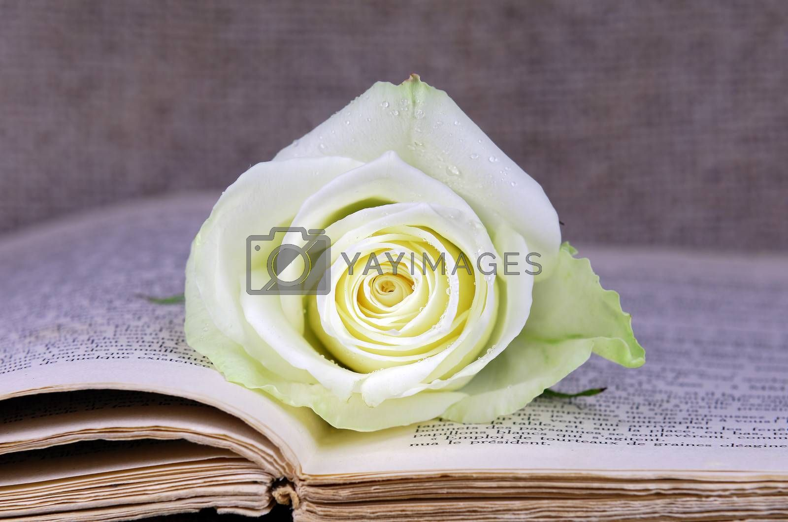 open book covered with a rose