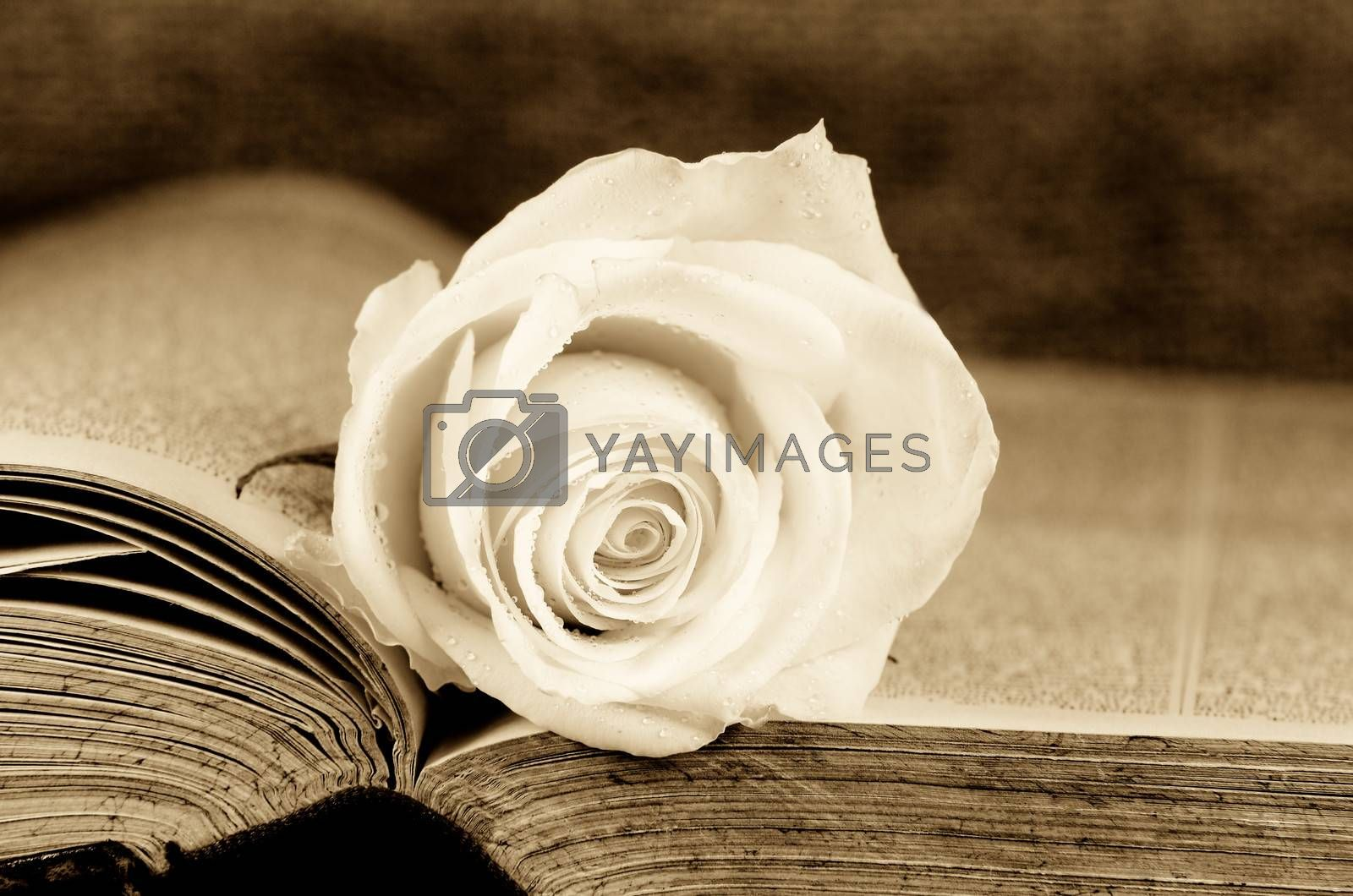 an old book covered with a white rose