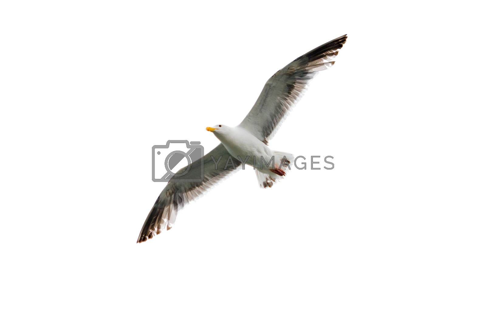Flying seagull with wings spread open against a white background