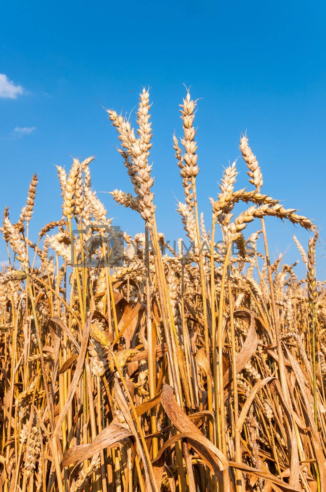 Wheat field with blue sky in background (vertical)