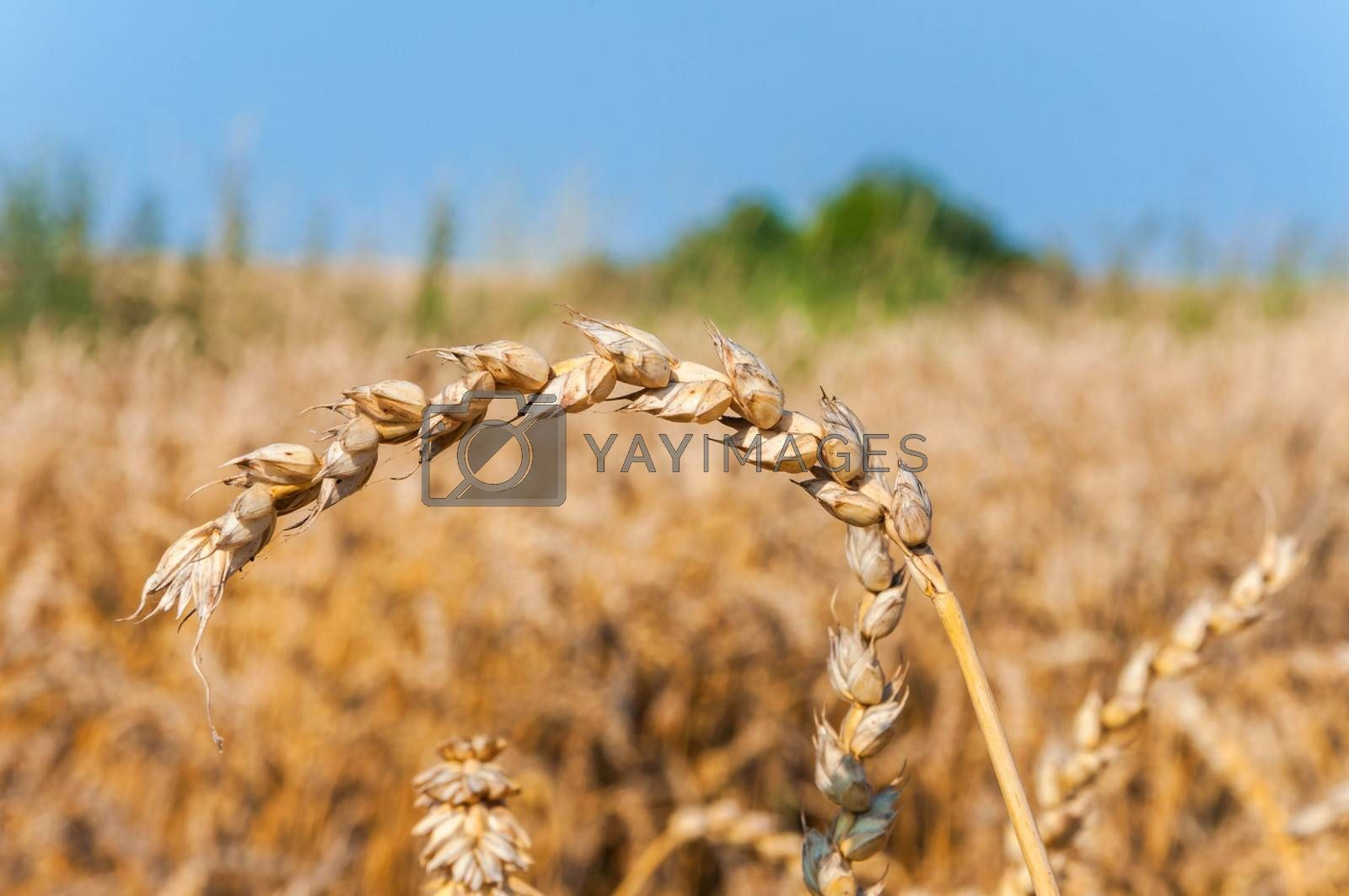 Wheatear on a field in sunny day.