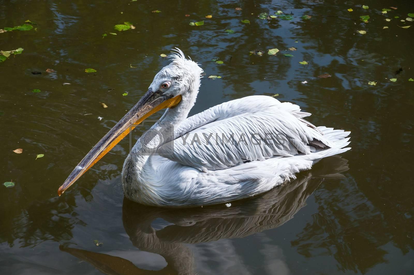 Dalmatian Pelican in the lake.