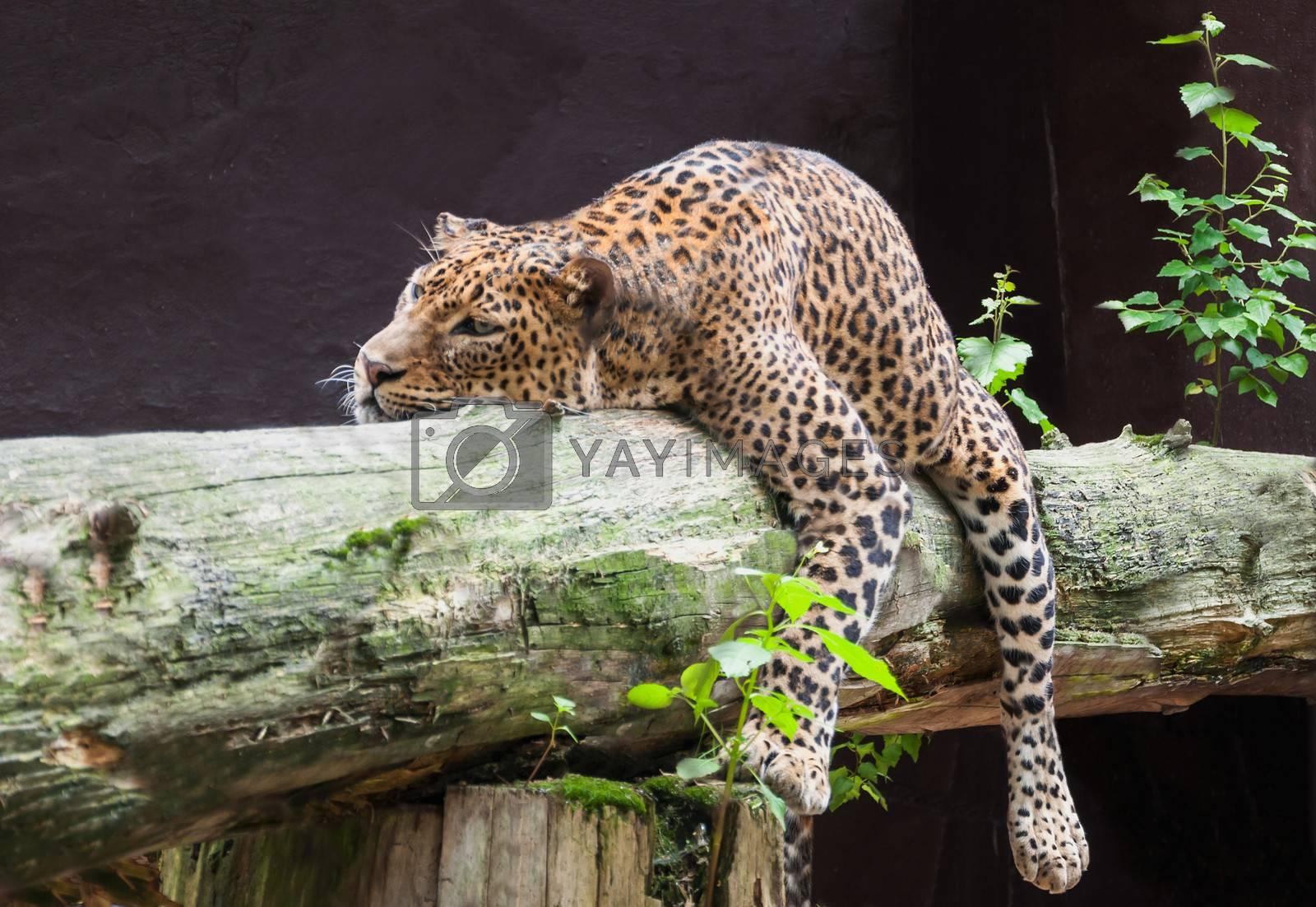 Sri Lankan leopard laying on tree.