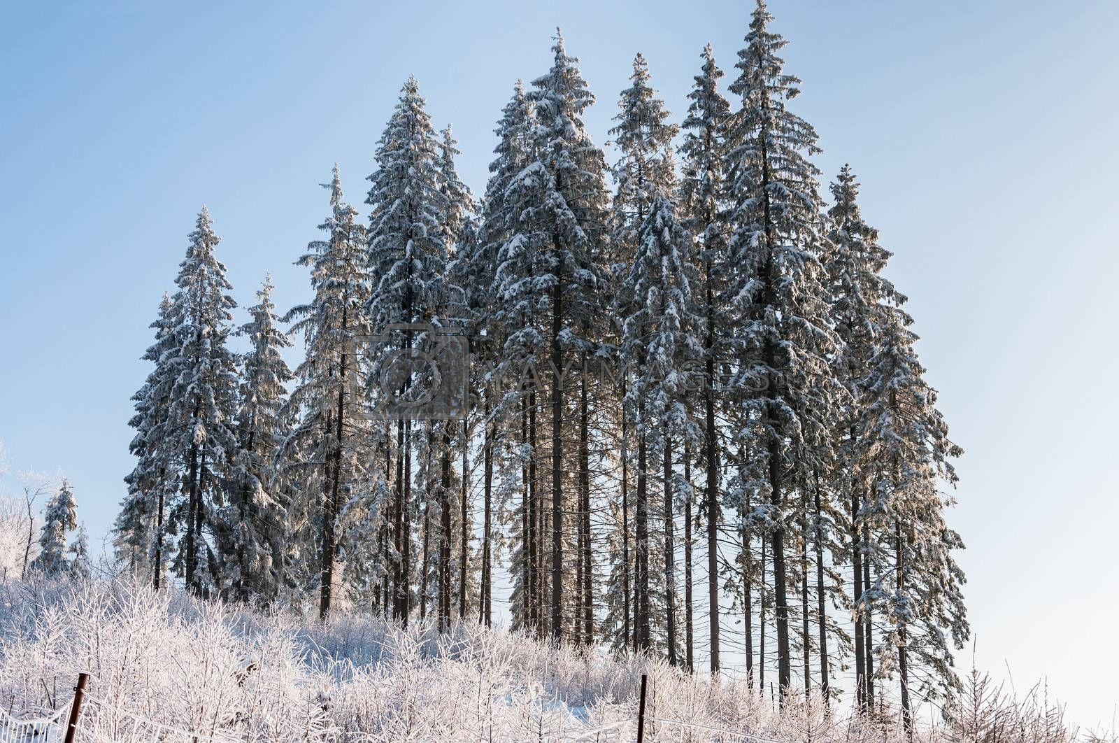 Trees covered with snow and hoarfrost.