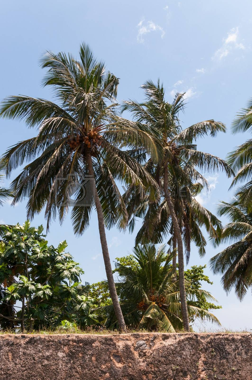 Tropical coconut palms with ripening fruits, Sri Lanka.