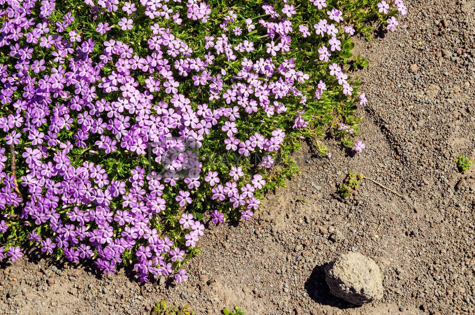 Purple flowers growing in a harsh mountain setting