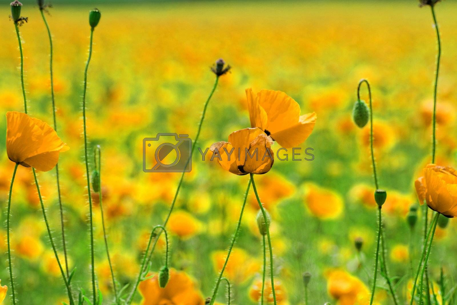 Huge yellow colored poppy field (golden abstract)