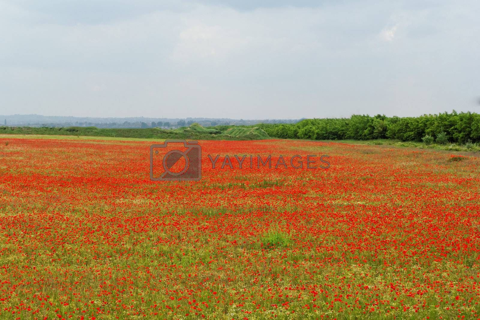 Huge red colored poppy field