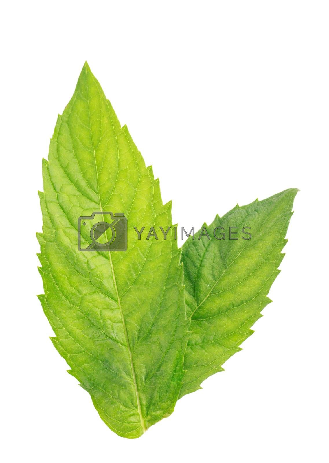 Two fresh green mint leaves isolated over white background