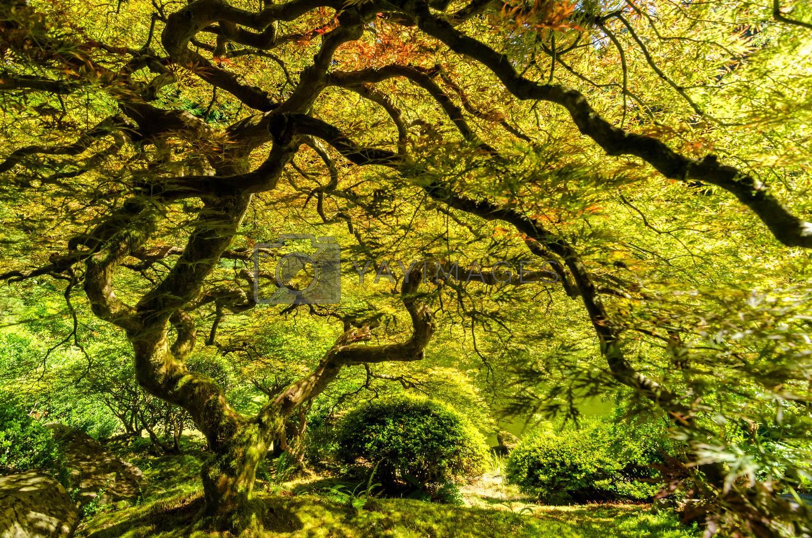 Japanese maple tree in the Japanese Garden in Portland, Oregon