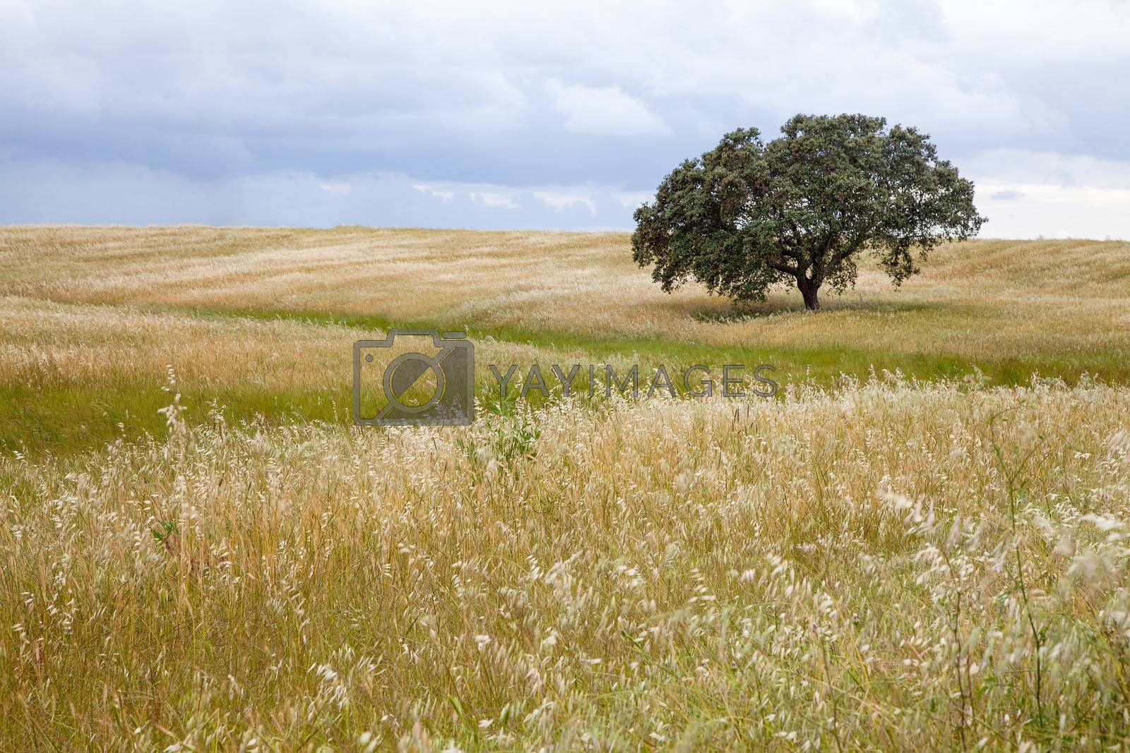 Lonely tree on farm field with cloudy sky.