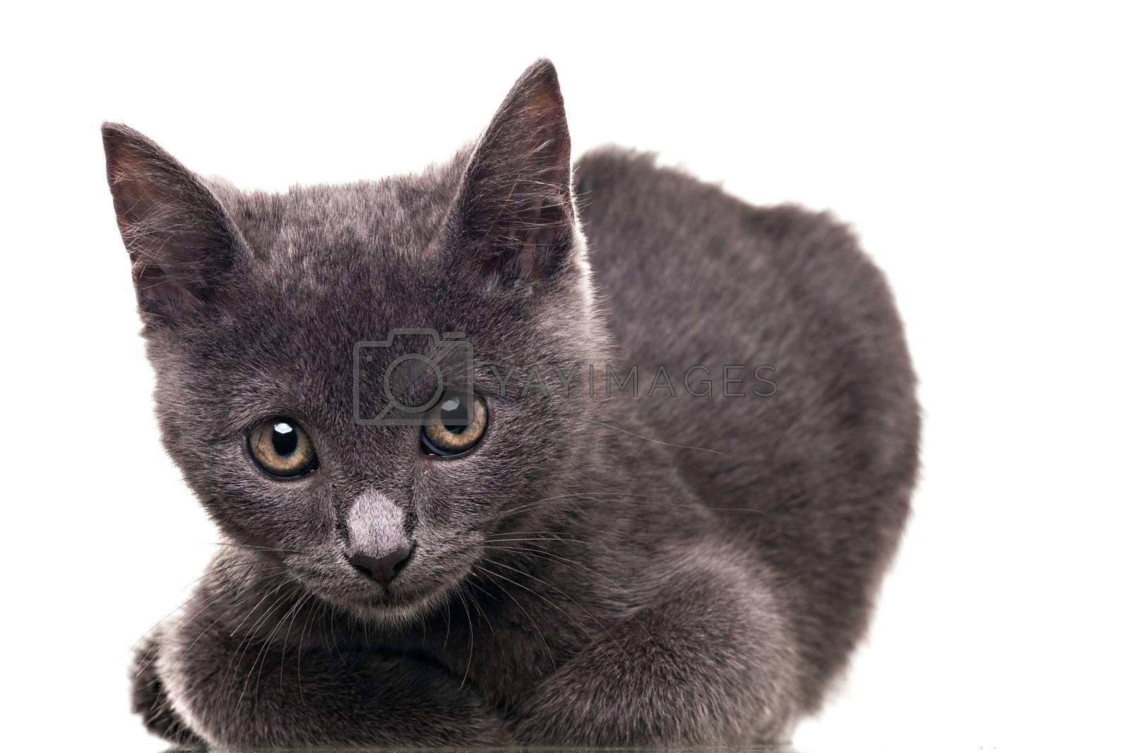 Chatreaux kitten portrait. Studio shot. Isolated on white background.