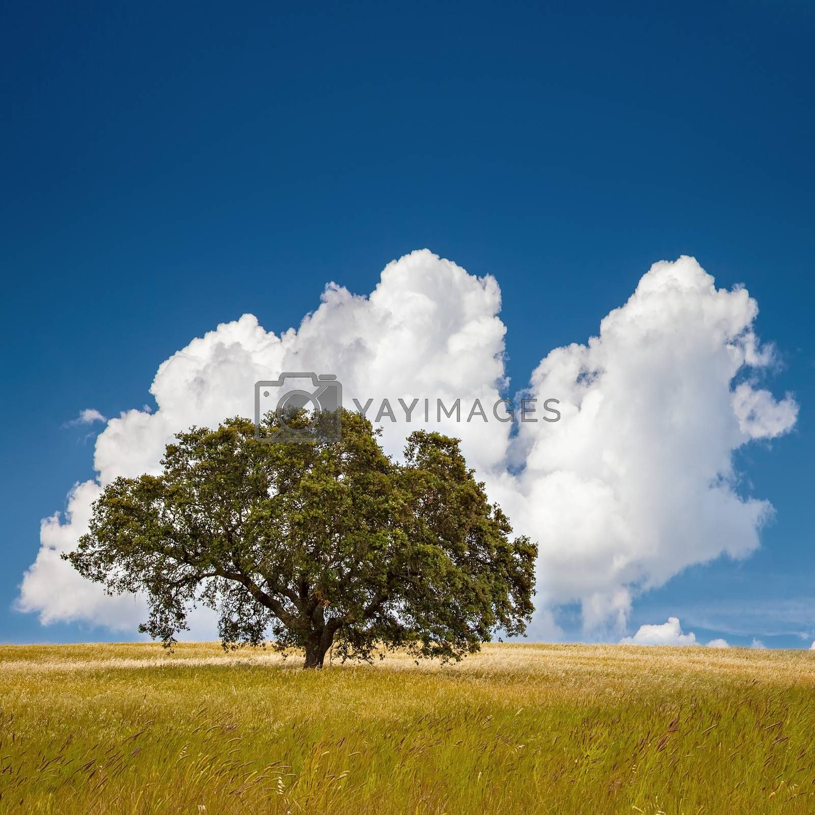 Lonely tree on farm field with blue sky and fluffy clouds.