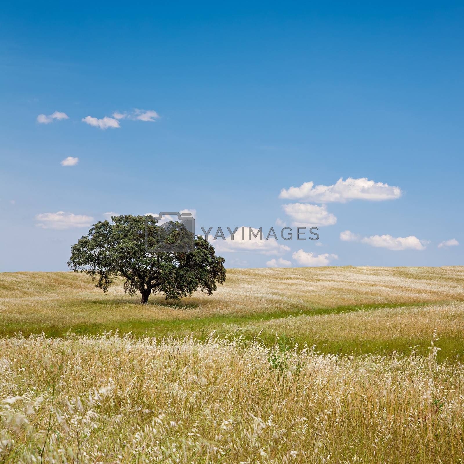 Lonely tree on cultivated farm field with blue sky. Alentejo, Portugal.