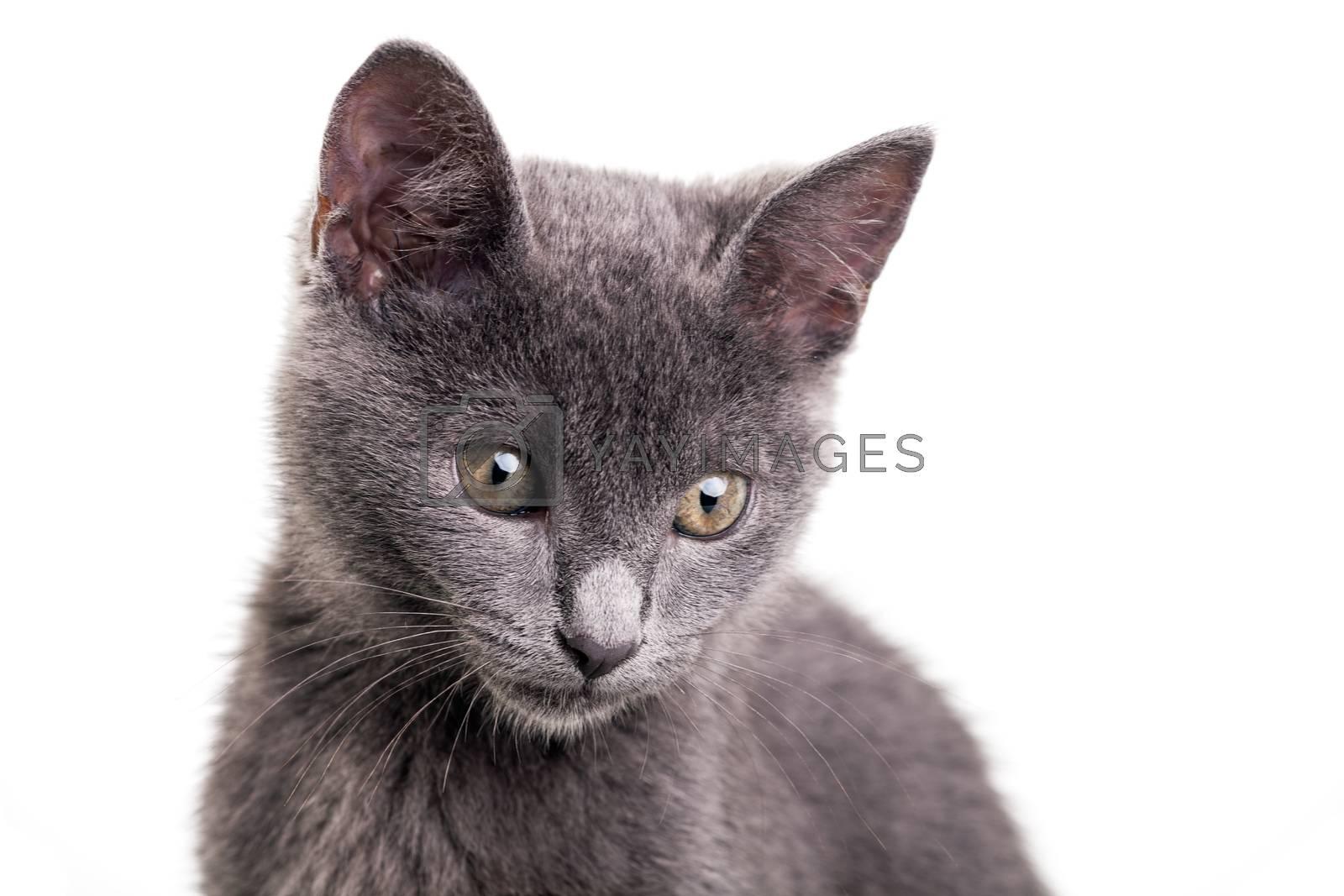Royalty free image of Chatreaux Kitten by ajn