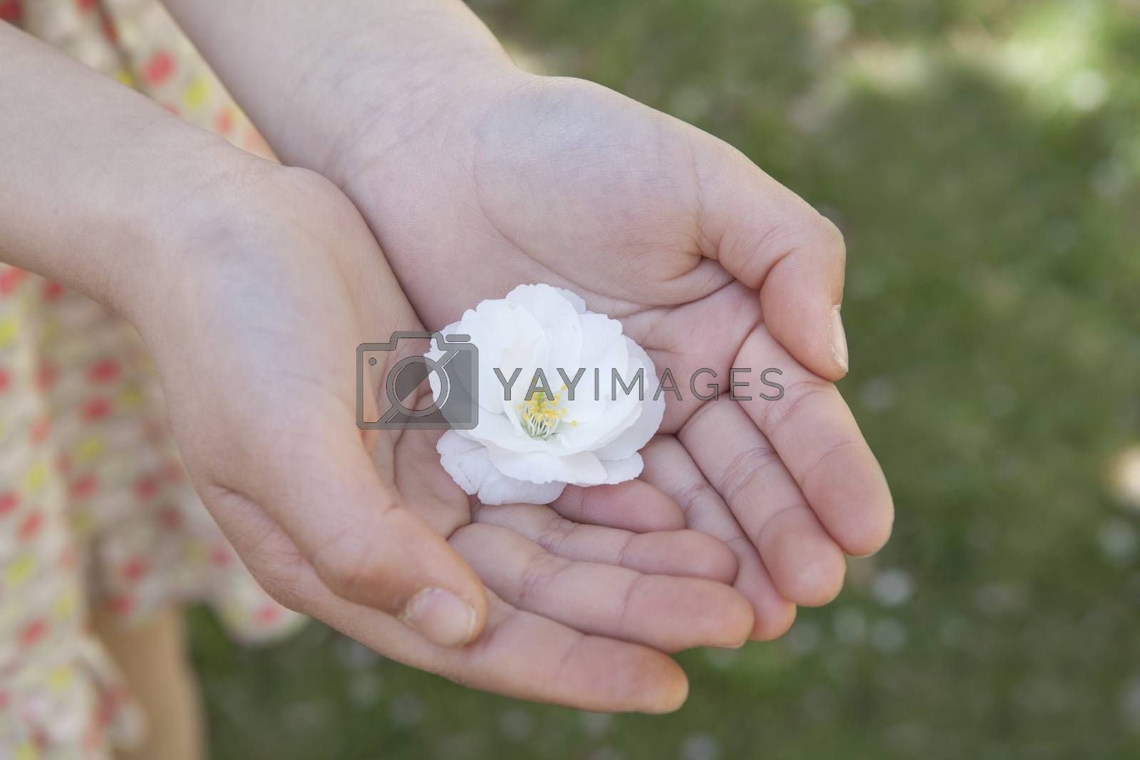 Close-up of little girls hands cupped together and holding a cherry blossom