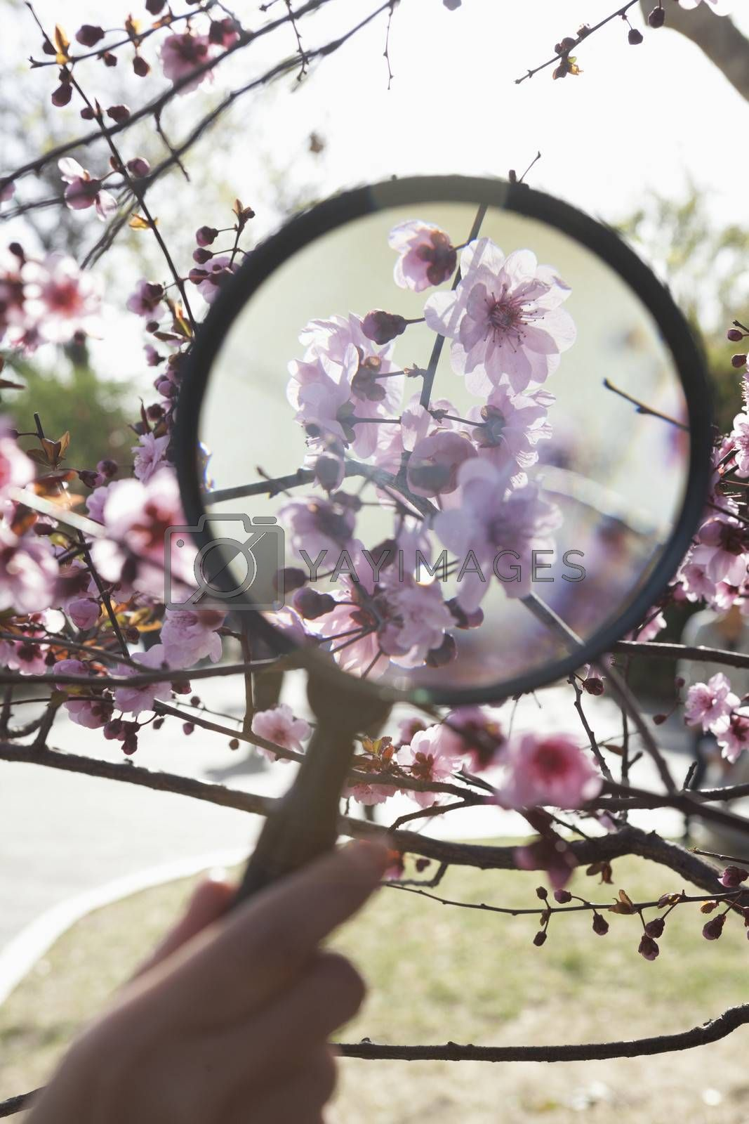 Close up of young boys hand holding a magnifying glass over a cherry blossom in the park in springtime