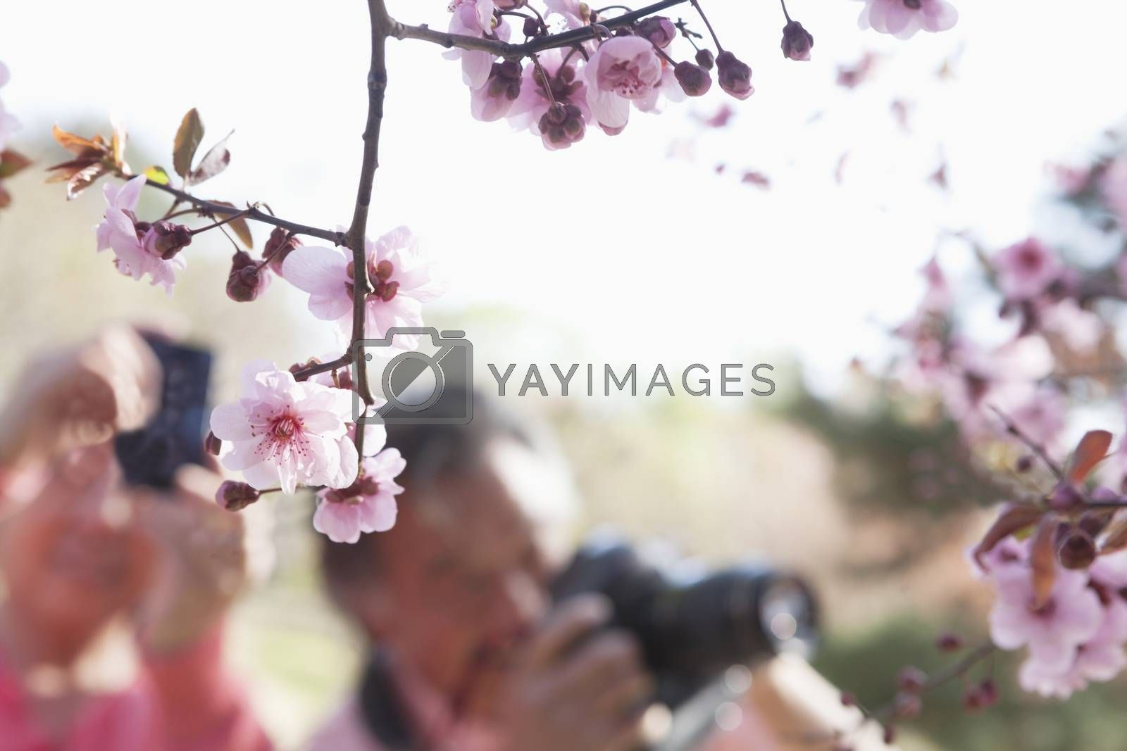 Close up of cherry blossoms on a branch with people taking photographs of them in the background, springtime, Beijing