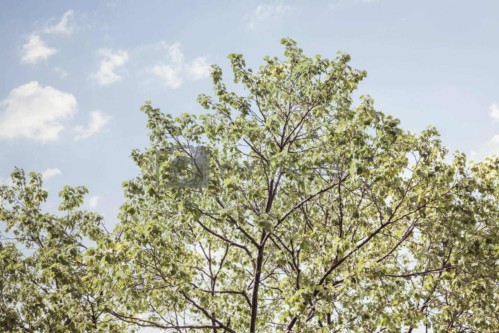 Tree tops against blue sky.