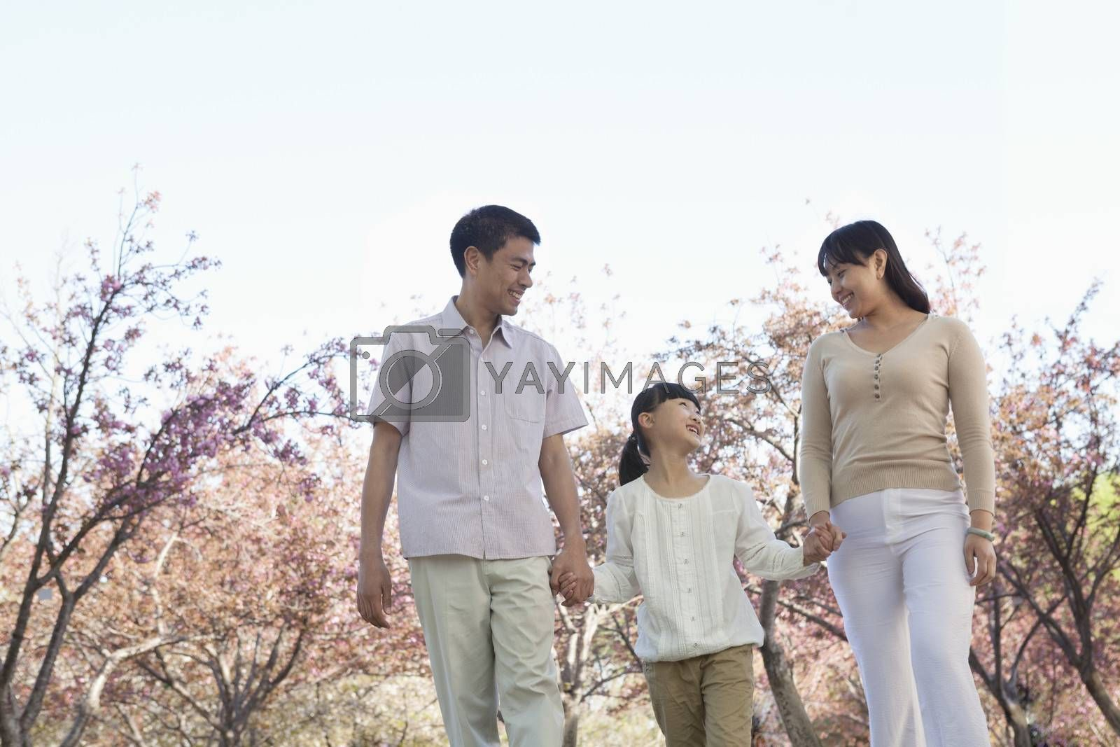 Happy family holding hands and taking a walk amongst the cherry trees in a park in springtime, Beijing