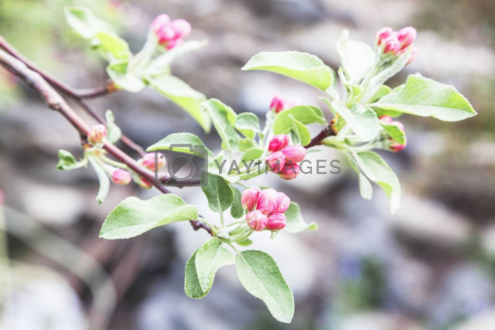 Close-up of pink cherry blossom buds.