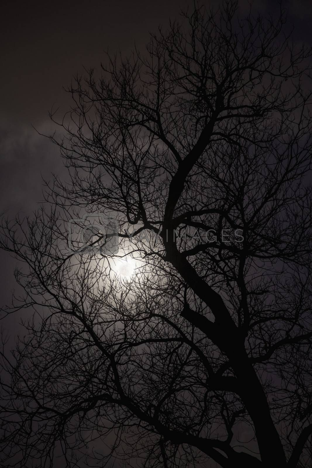 Silhouette of trees in the moonlight.