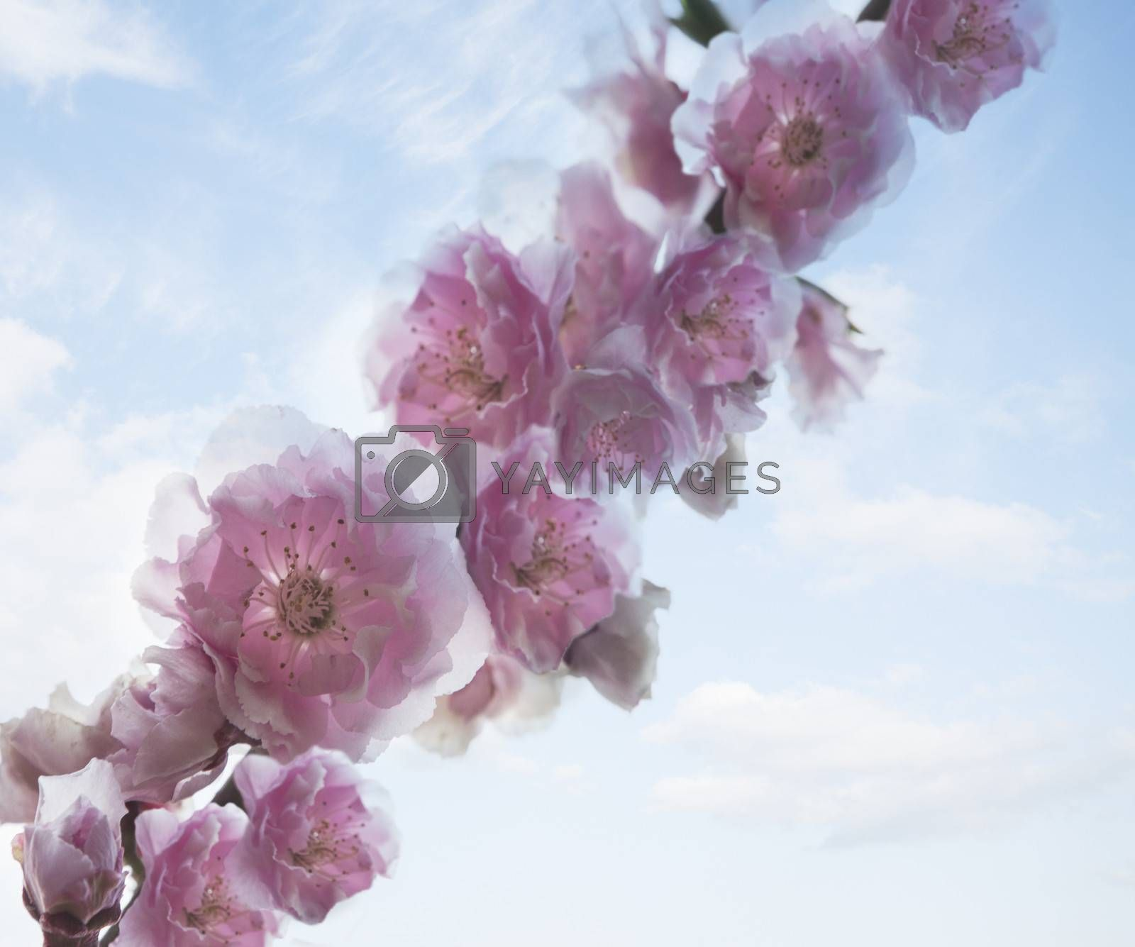 Close-up of pink cherry blossoms.