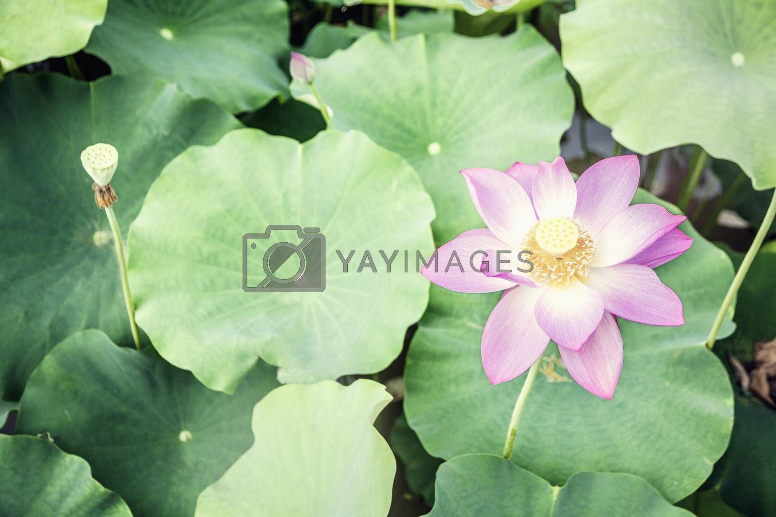 Close-up of pink lotus flower on a lake in China