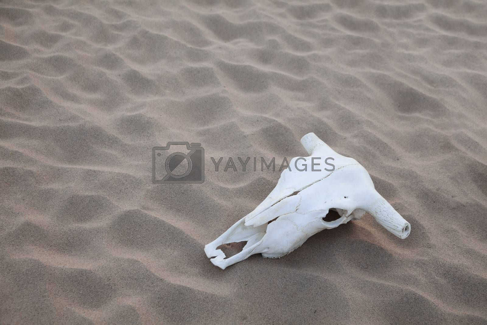 Animal skull lying on the sand in the middle of the desert