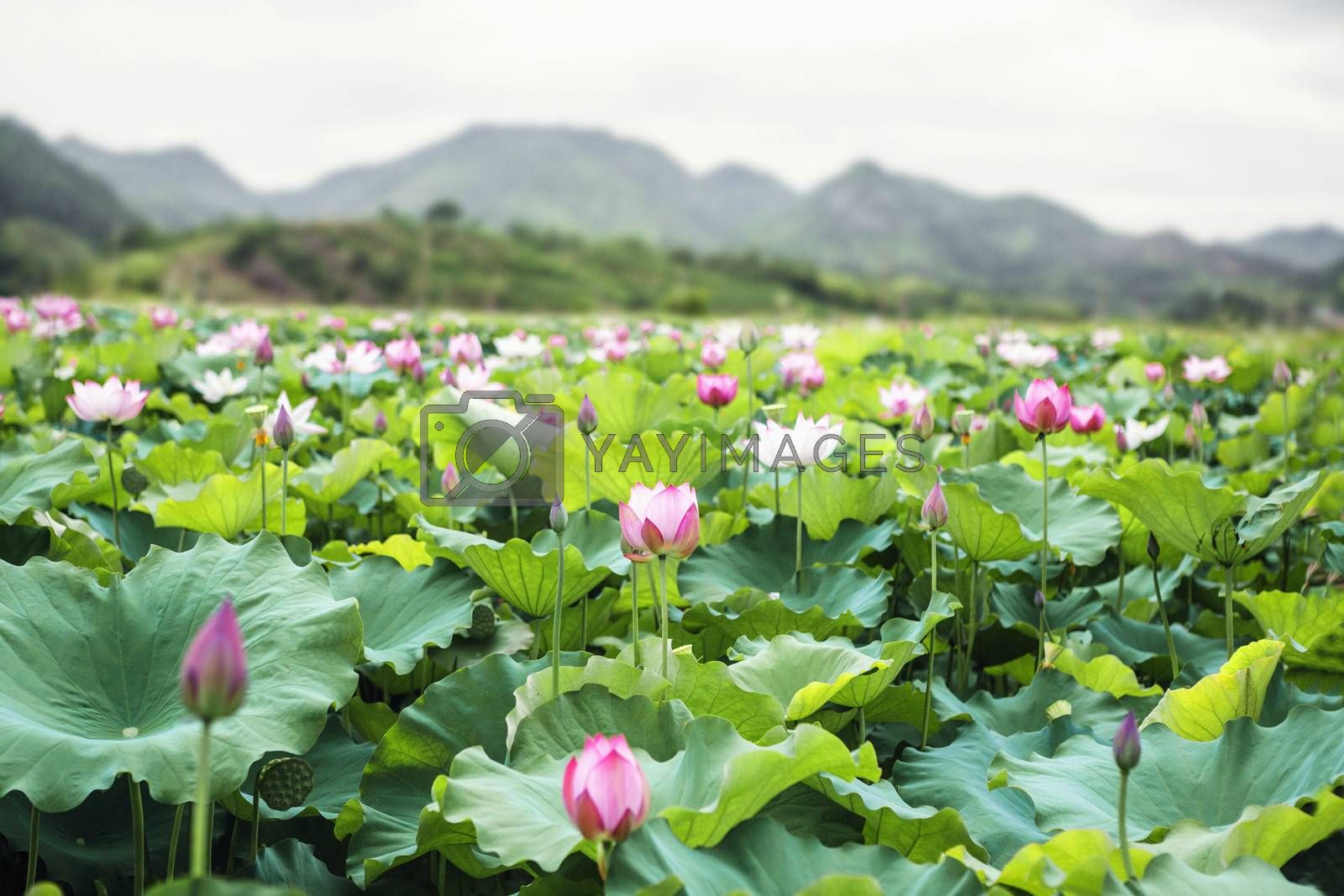 Close-up of pink lotus flowers on a lake in China, mountains in background by XiXinXing