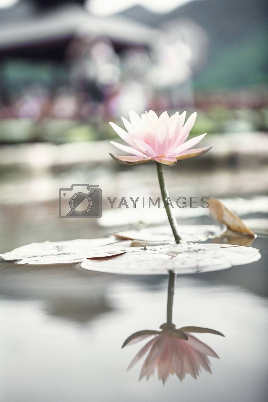 Close-up of pink lotus flower on a lake in China, reflection in the water  by XiXinXing