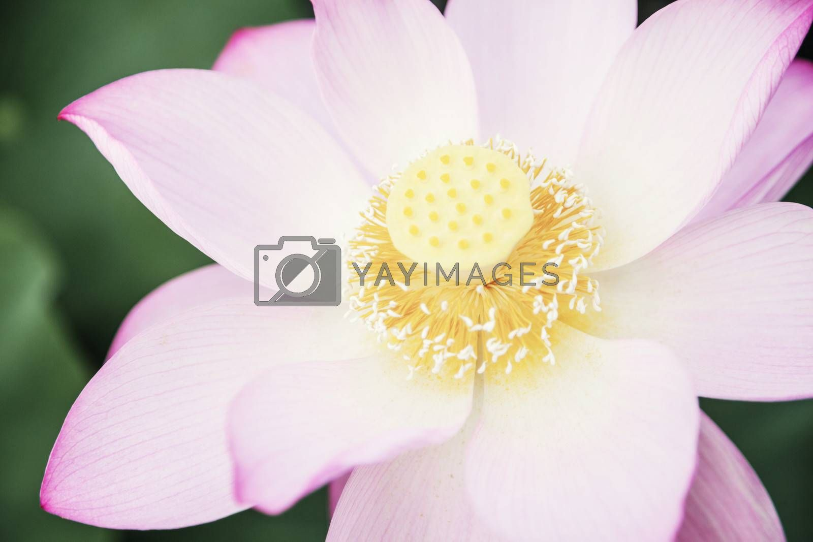 Close-up of pink lotus flower on a lake in China  by XiXinXing