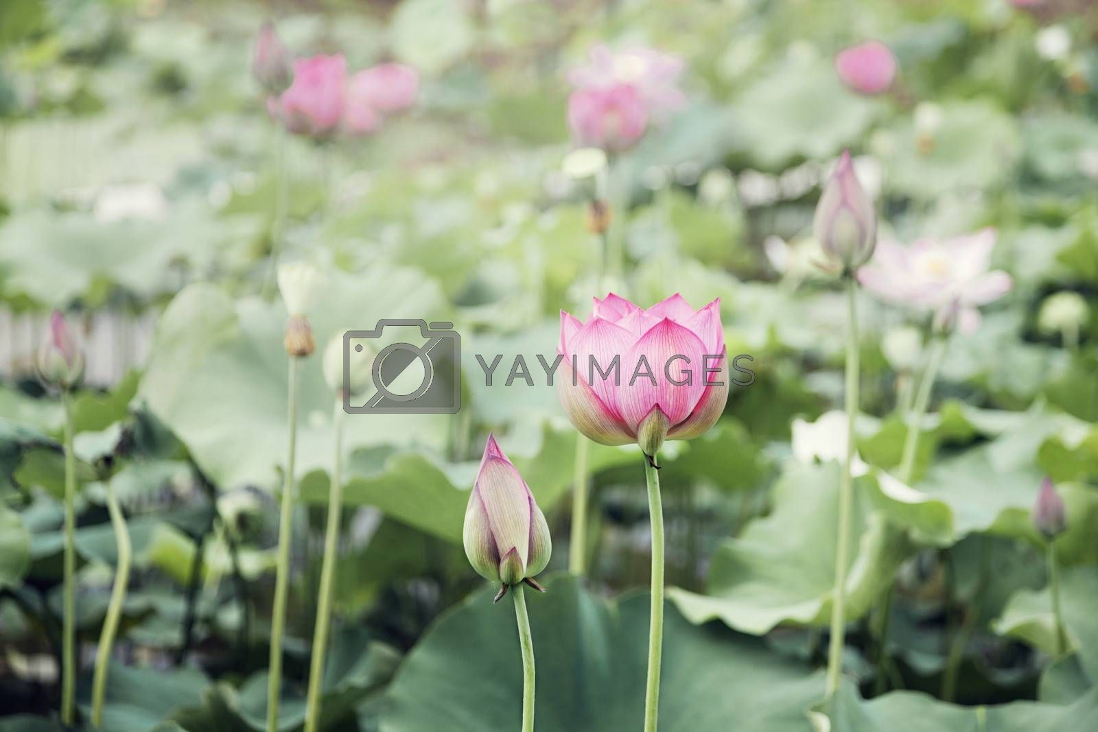 Pink lotus flowers on a lake in China
