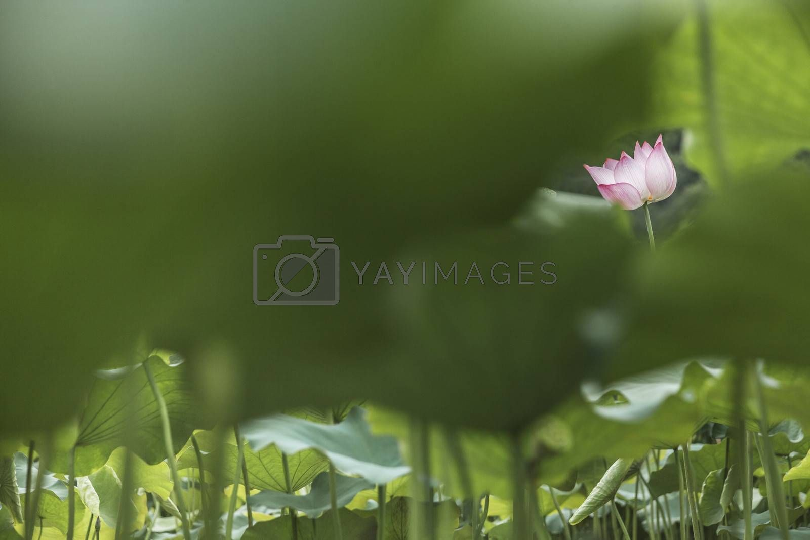 Pink lotus flower on a lake in China by XiXinXing