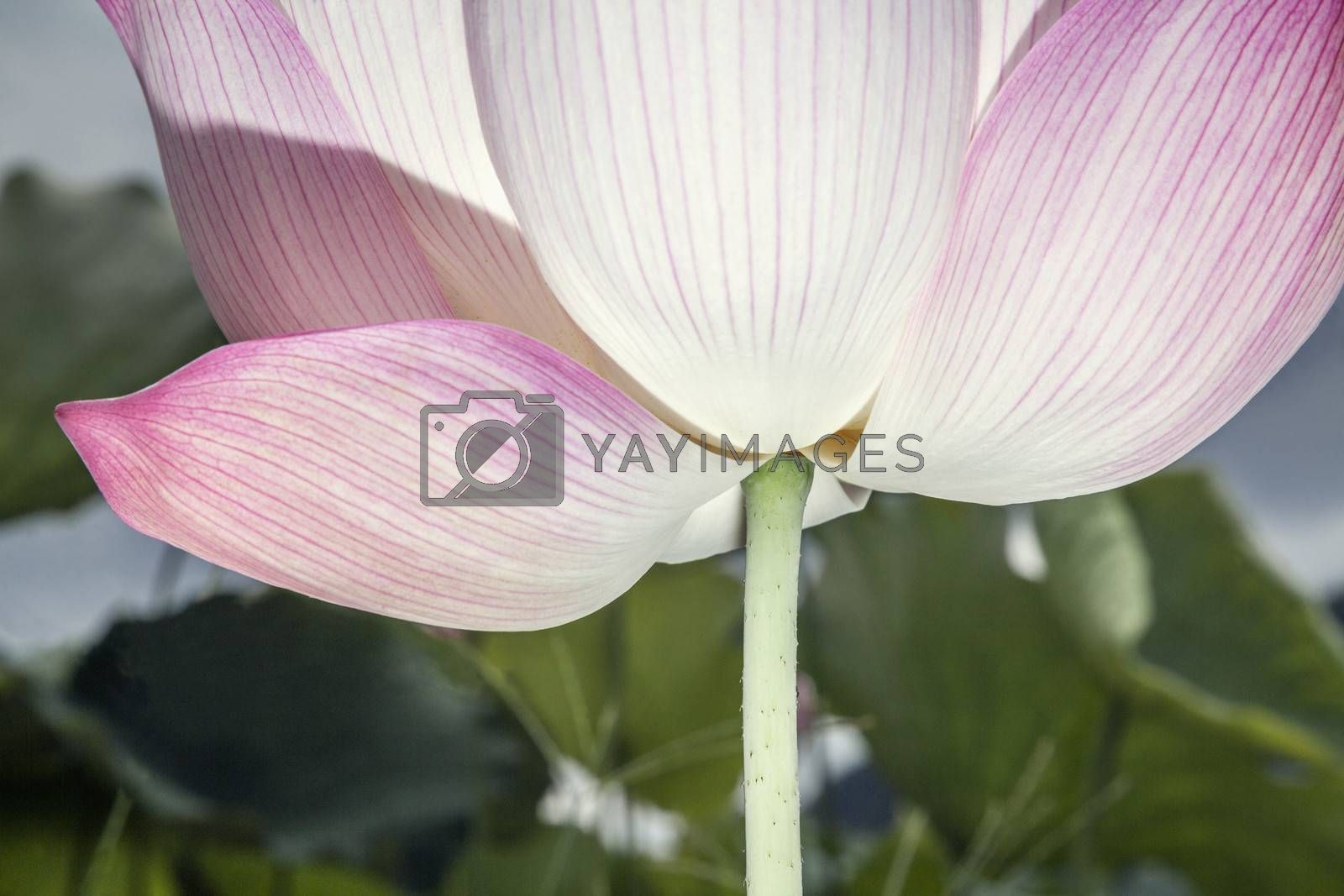 Close-up of pink lotus flower, China