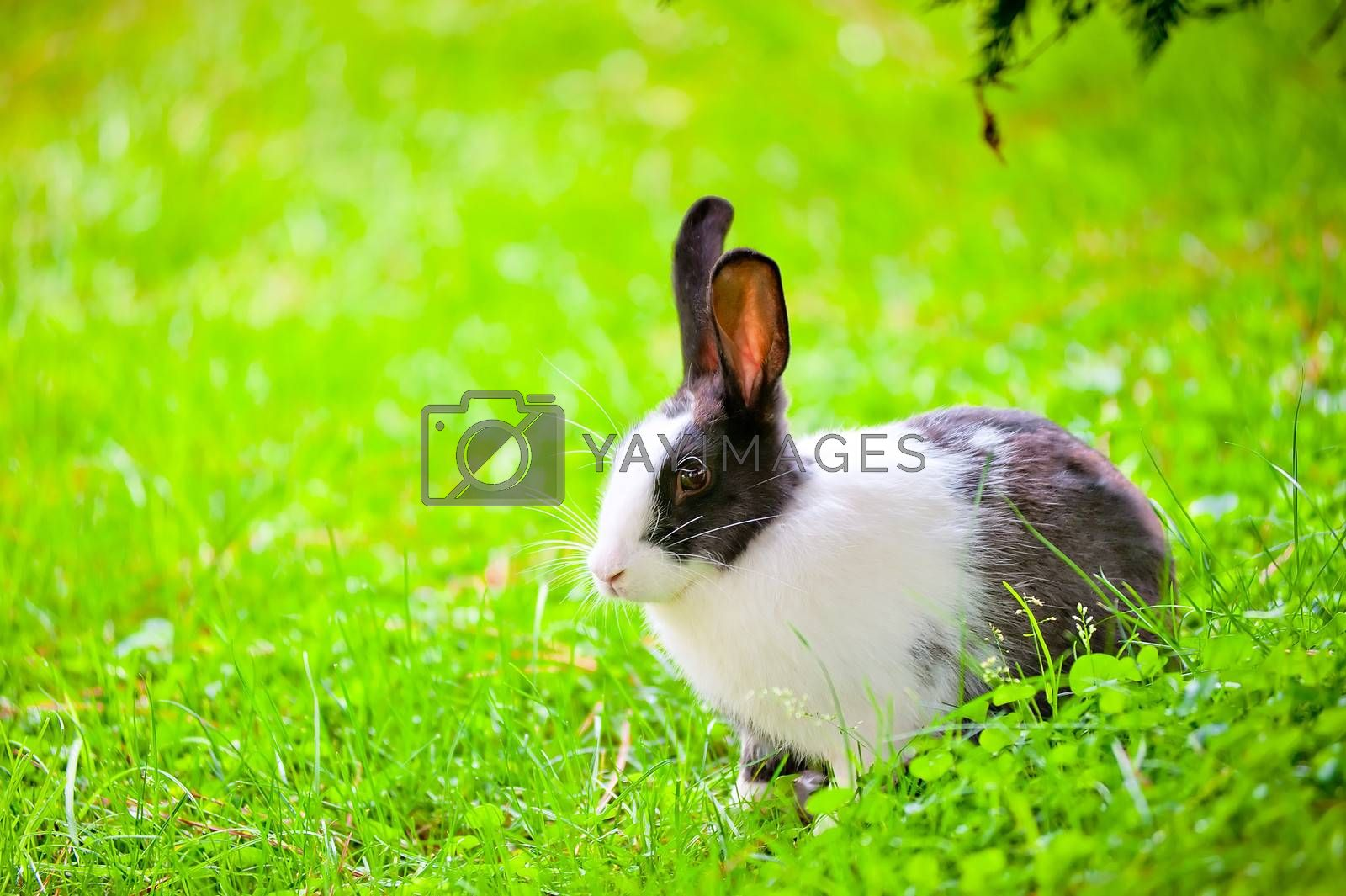 black-and-white rabbit sitting on the green grass with raised ears