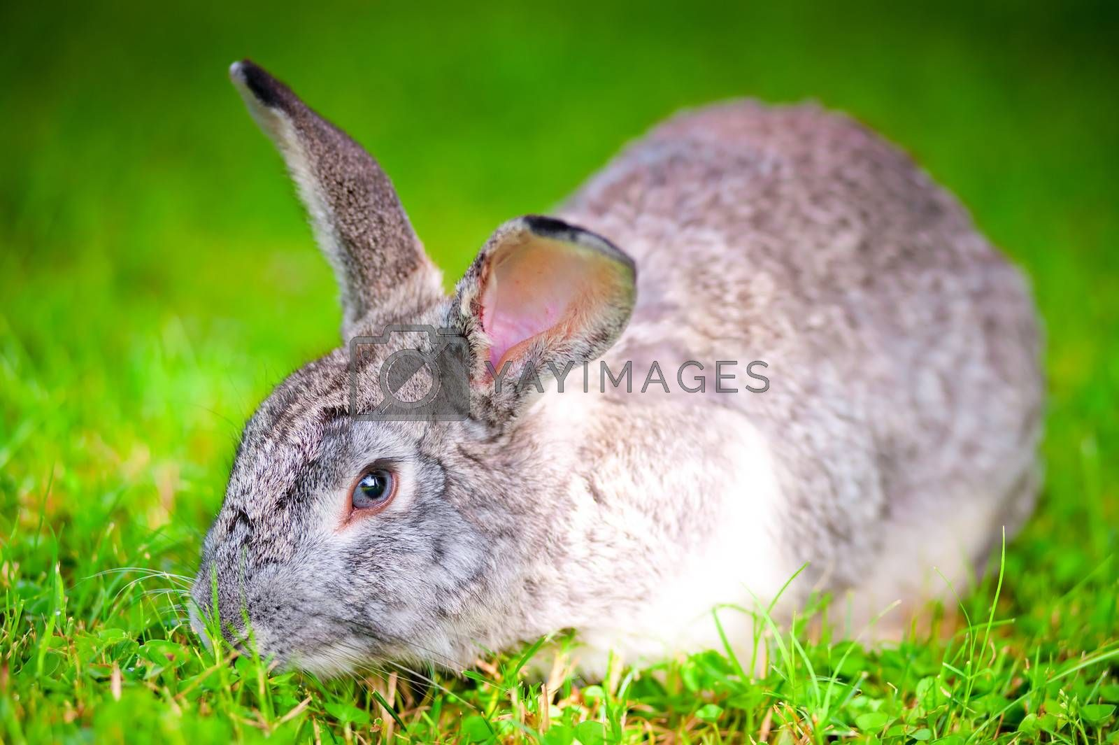 large pet rabbit eating green grass in the field