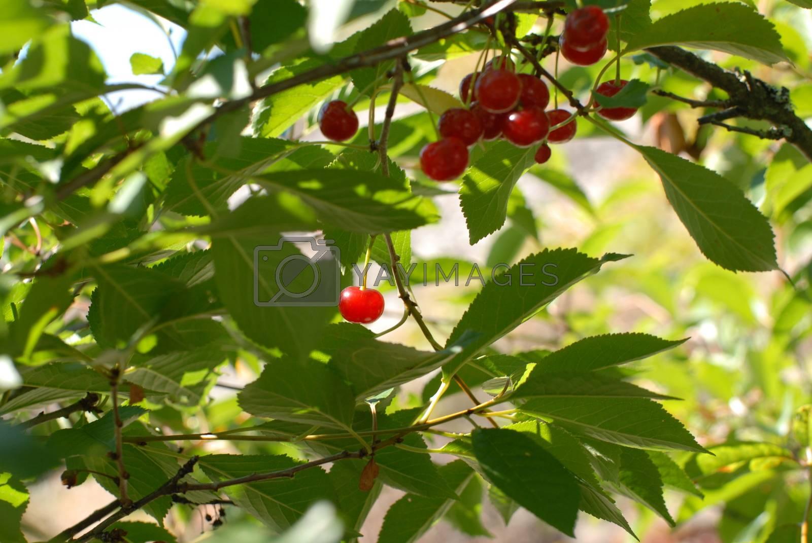 Cherry tree by Bildehagen