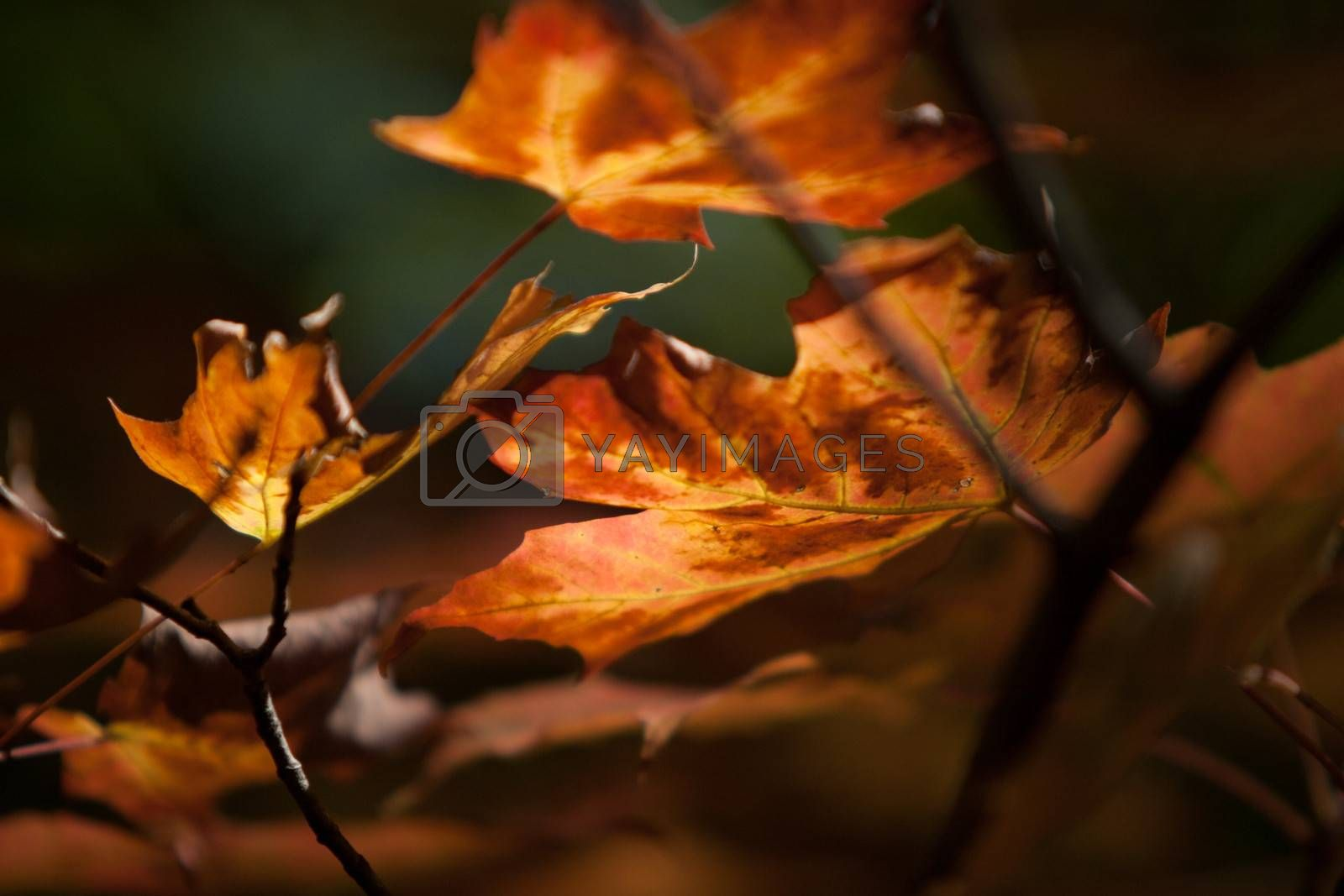maples leaves in autumn