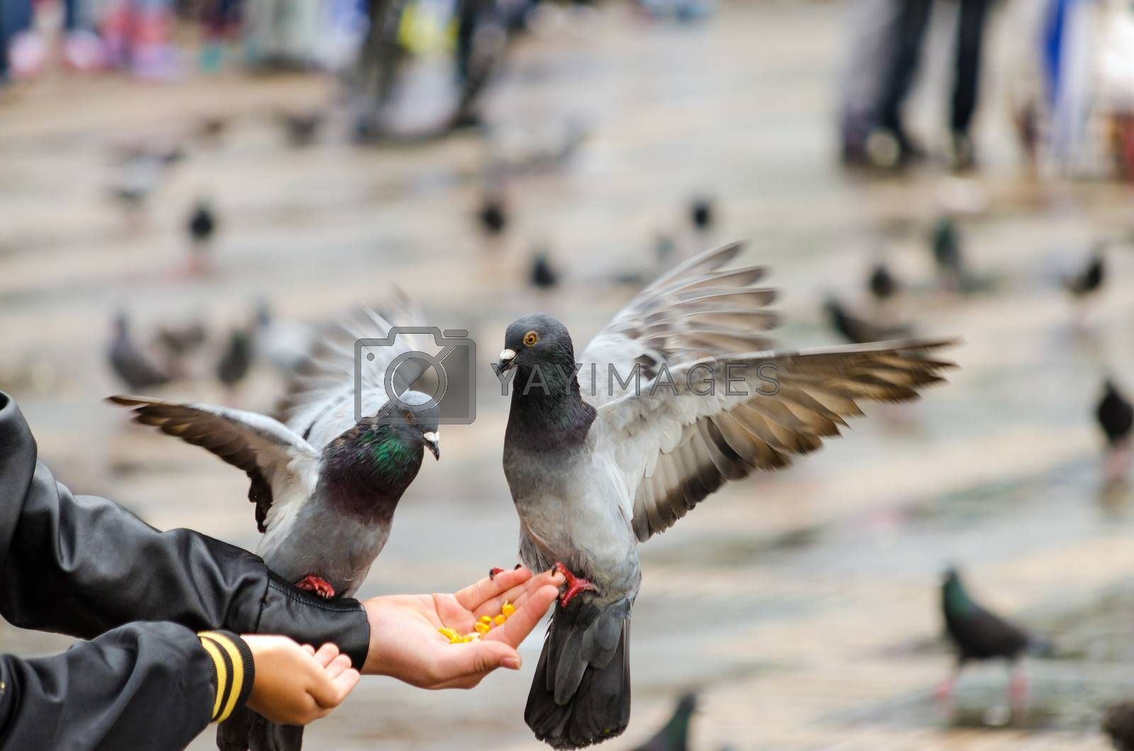Pigeons eating corn from a hand in Bogota, Colombia