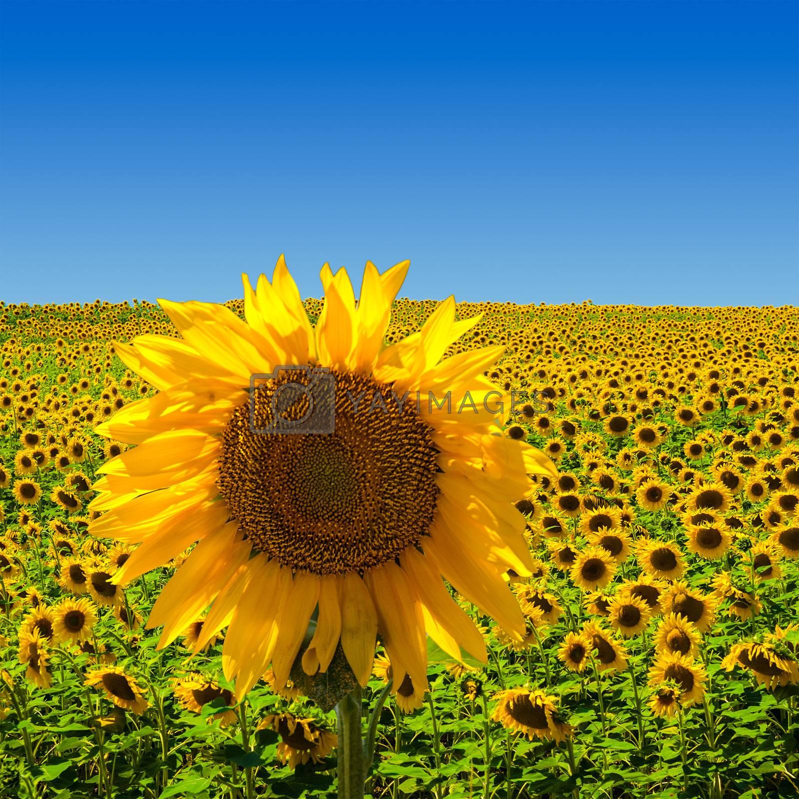 Big Sunflower on Sunflower Field by ajn