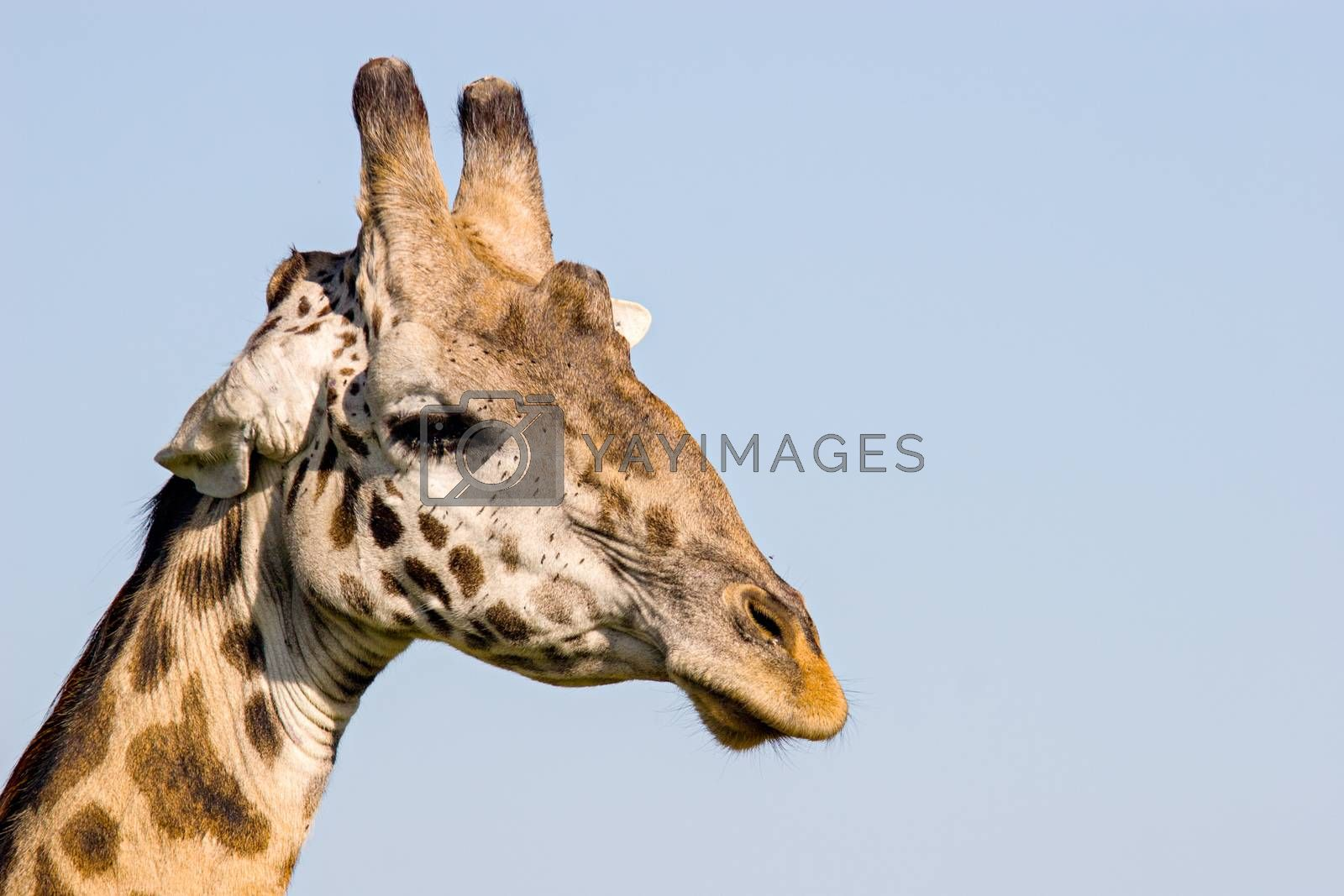 Giraffe Close Up by ajn