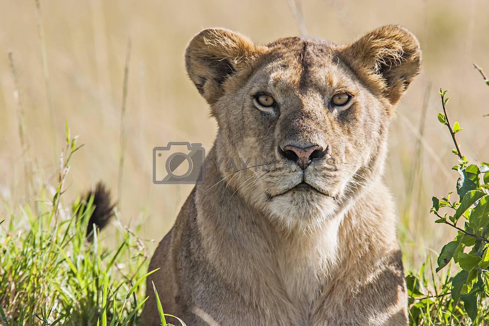 Lioness (Panthera Leo) by ajn
