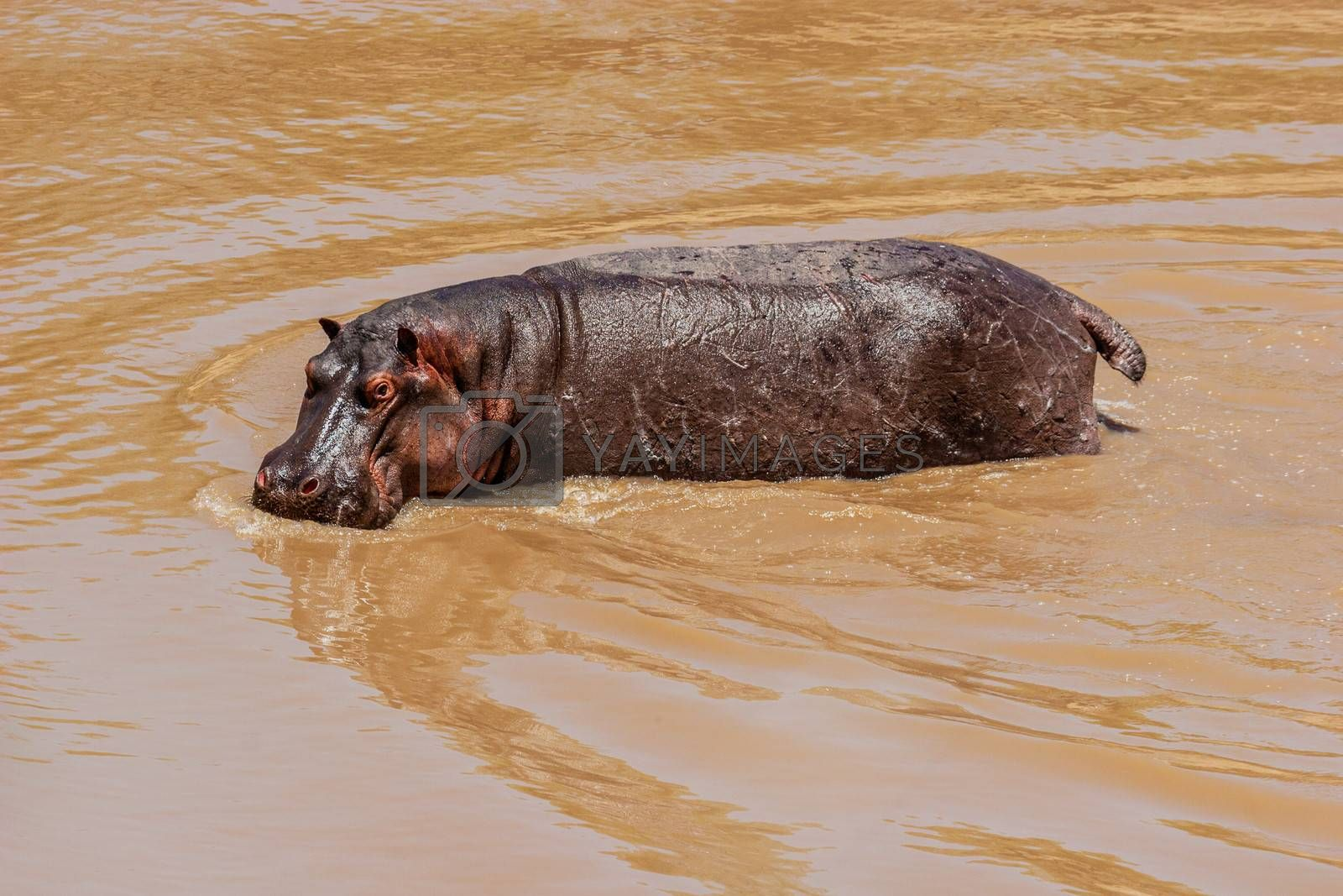Royalty free image of Hippo by ajn